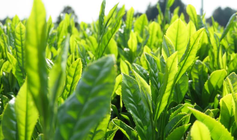 2018年新茶が仕上がりました。千紀園の宇治新茶発売です。